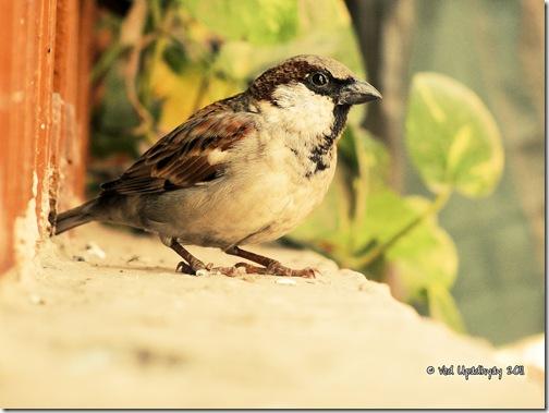 VPU_Male Sparrow (W)-2