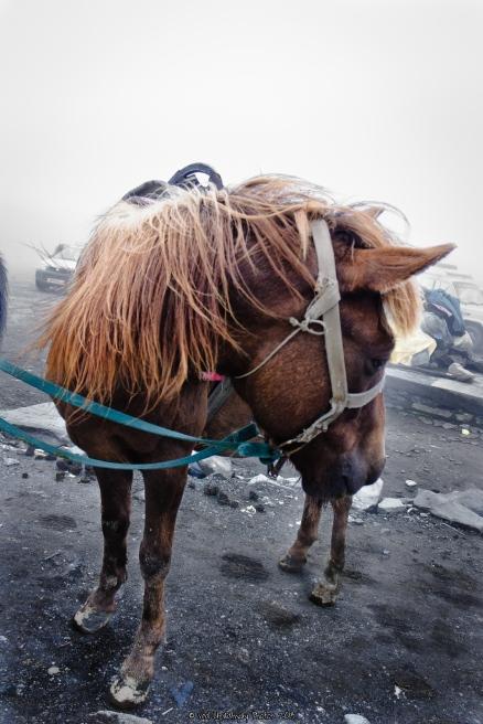 Horse at Rohtang Pass, India